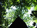 White Ash canopy, northern lower Michigan.jpg