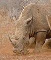 White Rhino (Ceratotherium simum) (31656235944).jpg