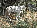 White Tiger 5.JPG