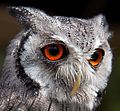 White faced Owl 3 (5991155594)(Cropped).jpg