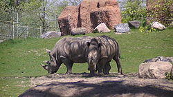 White rhinoceros at Toronto Zoo.JPG