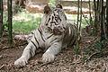 White tiger bangalore.jpg