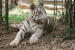 Bannerghatta National Park, Bannerghatta Biological Park - A Bengal White Tiger in Bannerghatta National Park.