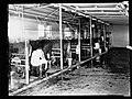Whyalla - cows in milking shed(GN15269).jpg
