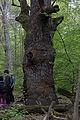 Wien-Hietzing - Naturdenkmal 478 - Urwald am Johannser Kogel - Kaisereiche.jpg