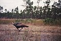 Wild Turkey (1), NPSPhoto (9247585619).jpg