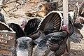 Wild Turkey Santa Rita Lodge Madera Canyon AZ 2018-02-17 16-12-28 (40540524562).jpg