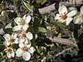Wild crabapple, Peraphyllum ramosissimum (15905928380).jpg
