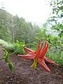 Wildflower, saddle mountain (733249234).jpg