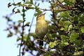 Willow Warbler (Phylloscopus trochilus).jpg