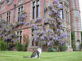Winterbourne House Wisteria and cat - Andy Mabbett - 02.JPG