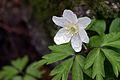 Wood Anemone in rain (7112344705).jpg