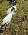 Wood Storks (Mycteria americana).jpg