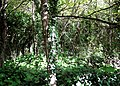 Woodland inland of Kennack Sands - geograph.org.uk - 1003746.jpg