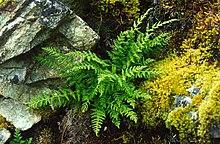 Woodsia scopulina.jpg