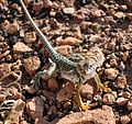 Wupatki National Monument - Crotaphytus collaris - 05.JPG