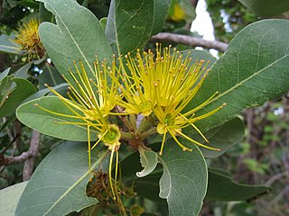 <i>Xanthostemon paradoxus</i> species of plant