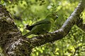 Yellow-fronted Parakeet - South Island - New Zealand (24402056137).jpg