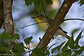 Yellow-throated Vireo National Butterfly Center Mission TX 2018-03-07 13-57-41 (40034109724).jpg