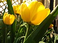 Yellow Tulips in the sunshine.jpg