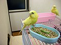 Yellow domesticated budgerigar 2.jpg