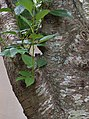 Yoshino cherry tree bark 2.jpg