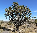 Yucca brevifolia 7.jpg