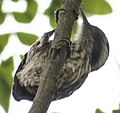 Yungipicus moluccensis.jpg