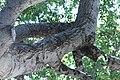 ZIMG 2629-Notholithocarpus densiflorus.jpg