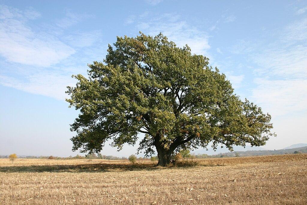 File:Zapis-0001-Vezicevo-Hrast 20111031 6258.jpg - Wikimedia Commons
