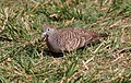 Zebra Dove (Geopelia striata) (26438513686).jpg