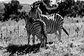 Zebra Love 2 (139026587).jpeg