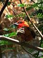 Zoo Landau Männlicher Madagaskar-Webervogel.JPG