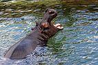 Zooparc de Beauval - hippopotame - 2016 - 007.jpg