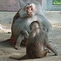Zunge raus Entspannung pur Mantelpaviane Worm Tiergarten.JPG