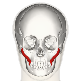 Zygomaticus major muscle frontal.png