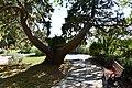 """""""Бивни"""" секвойядендрона на нижнем ярусе парка.jpg"""