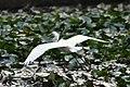 (1)Egret-8.jpg