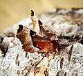(1919) Purple Thorn (Selenia tetralunaria) (33660022681).jpg