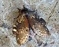 (1999) Lobster Moth (Stauropus fagi) (7412658686).jpg