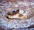 (2009) Maple Prominent (Ptilodon cucullina) (34941774643).jpg