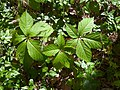 (MAD) P. quinquefolia-2.jpg