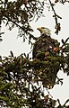 Águila calva (Haliaeetus leucocephalus), Parque Estatal de Recreo del Lago Chilkoot, Haines, Alaska, Estados Unidos, 2017-08-26, DD 02.jpg
