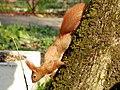 Білка в центральному парку Вінниці DSCF3499.jpg