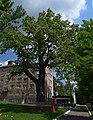 Дуб Вєтрова DSC 0431.jpg