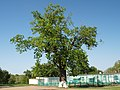 Дуб черешчатий (Полтава, Монастирська 9а).jpg