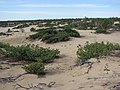 Кедровый стланик на тукуланах - panoramio.jpg