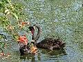 Новый Афон. Лебеди в Приморском парке - panoramio (1).jpg