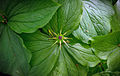 Одиночна група доволі рідкісної отруйної рослини - Воронячого Ока , в заказнику Володимирська Дубина.jpg