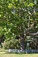 Унікальне дерево-екзот (пам'ятка природи), с. Сокиринці 02.jpg